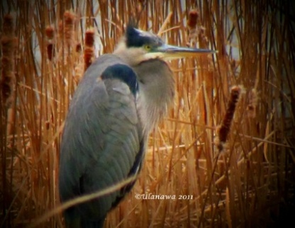 Herons in Winter in the Frozen Marsh, poem by Mary Oliver