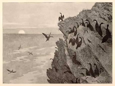 cormorant-01-1891