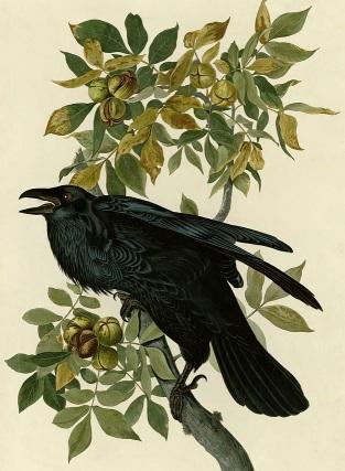plate-101-raven