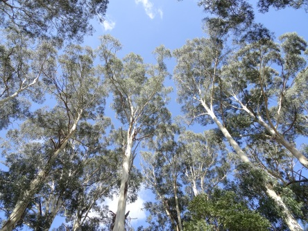 ghost_gums