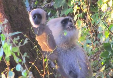 800px-Black_Faced_Baby_Langur_(5290862829)