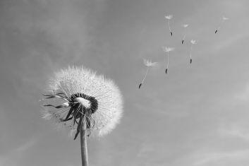 dandelion-wind-blown-seeds