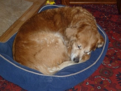 Sweet Izzy curled up in her bed