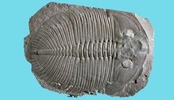trilobites-ogygiocarella-two-column