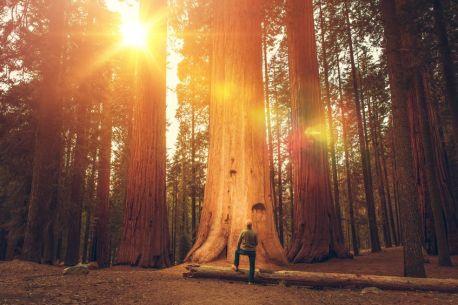 Hiker in Front of Giant Sequoia