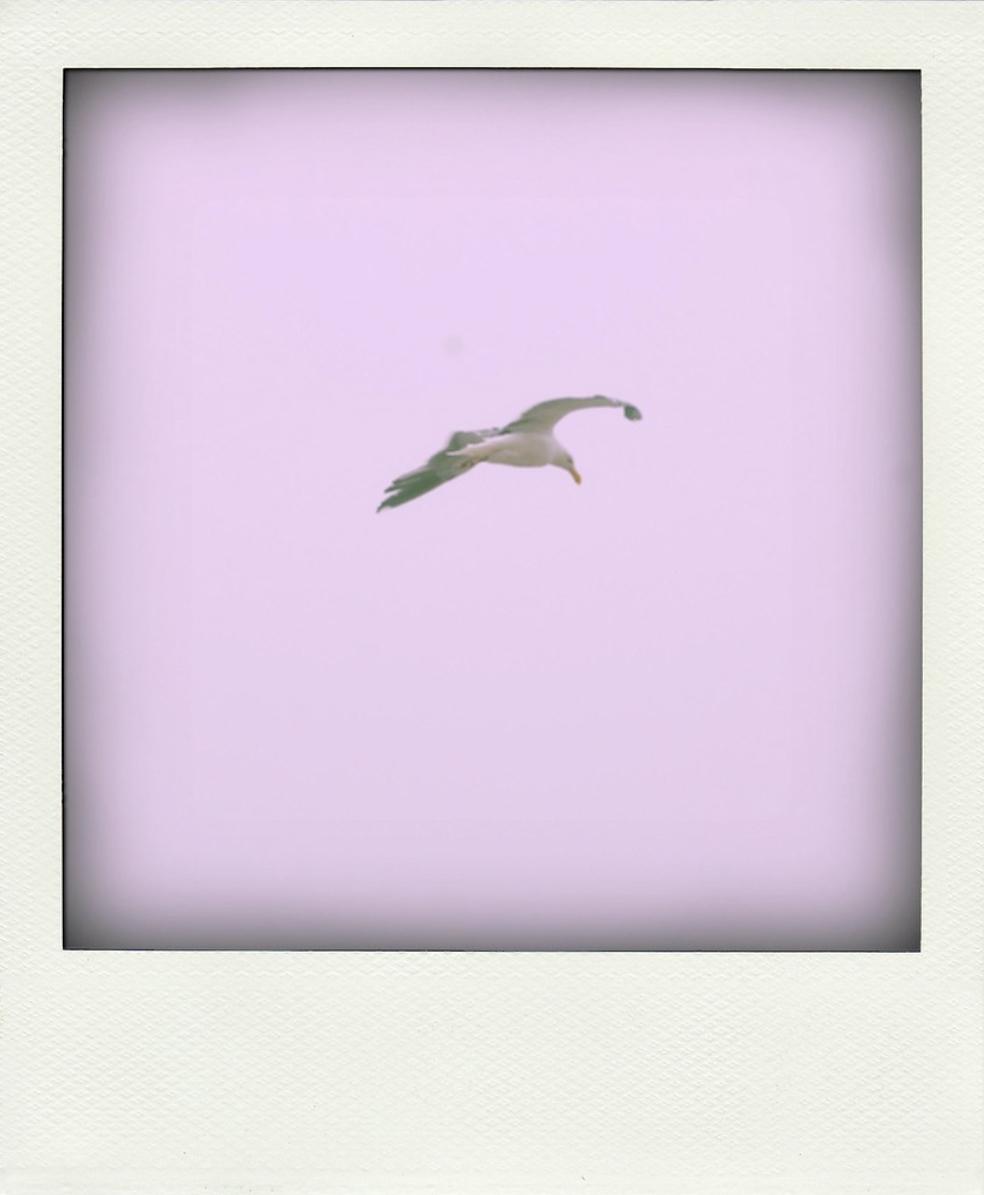 flying gull espen sundve