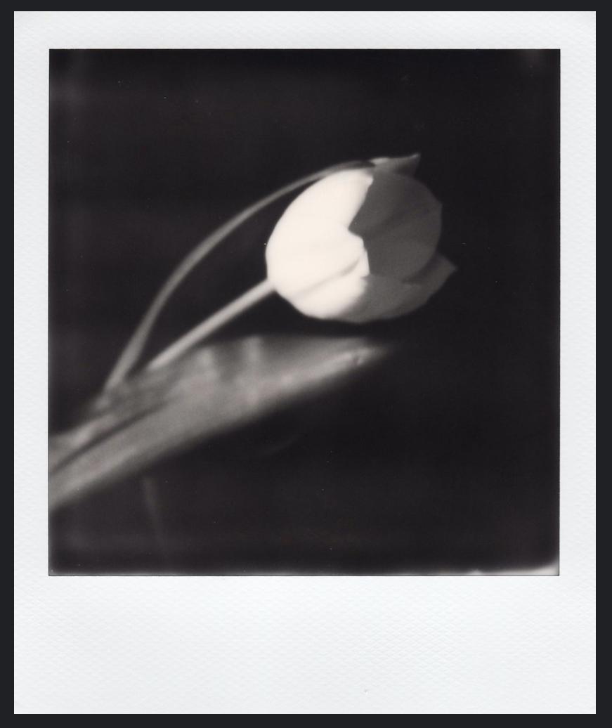 tulip magali m